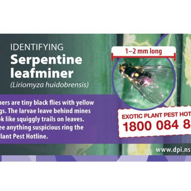 Serpentine leafminer detected in Western Sydney
